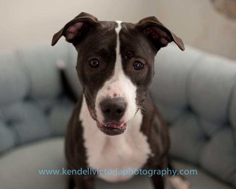 Save a Bull, adoptable dog Bernie