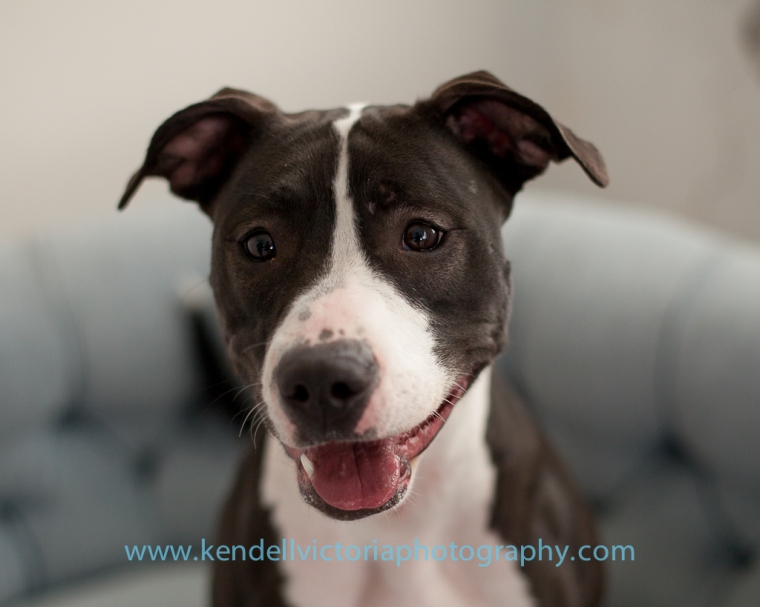 smiling pit bull, save a bull, mn
