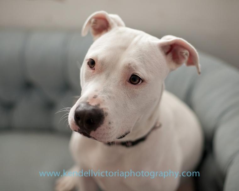 Save a Bull adoptable dog Hazel