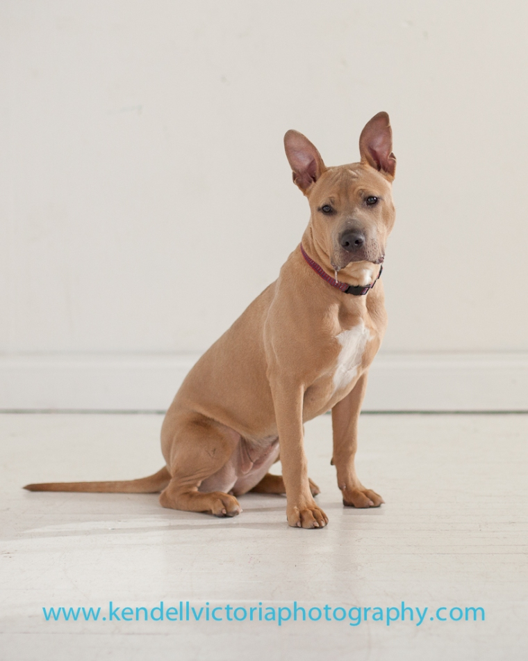 Adoptable pit bull, Thelma, from Save a Bull Rescue, MN.