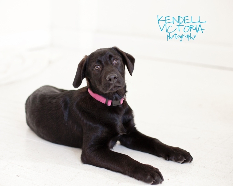 adoptable black lab amelia