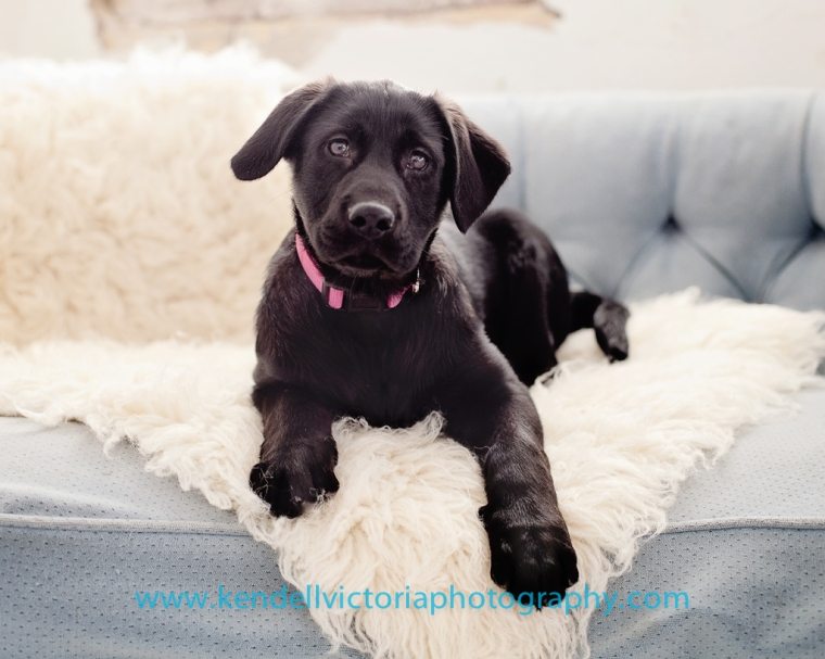 save a bull lab puppy amelia