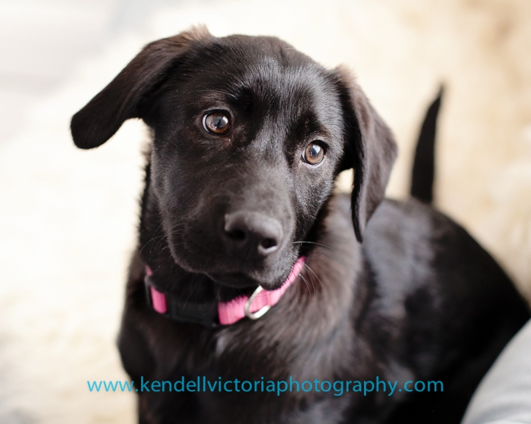 lab puppy needs forever home