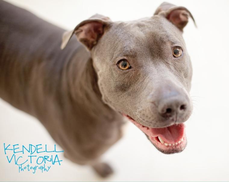 ariel smiling pit bull