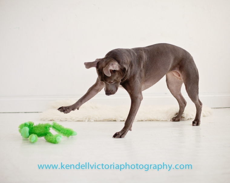 adoptable playful pit bull ariel