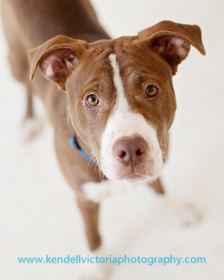 beautiful red and white pit bull