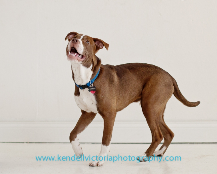 happy pit bull photography