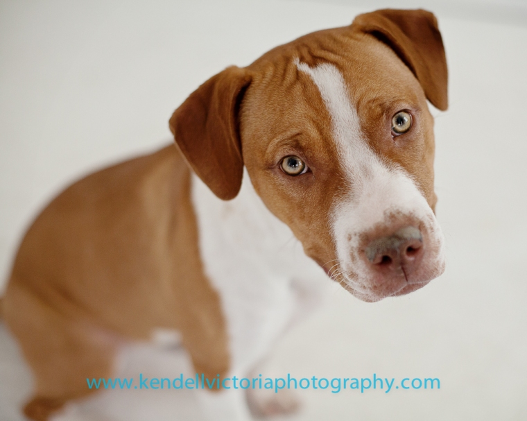 adoptable pit bull MN