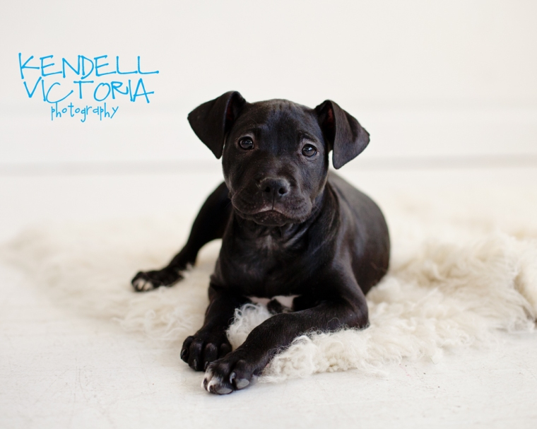 cute pit bull puppy saveabull MN
