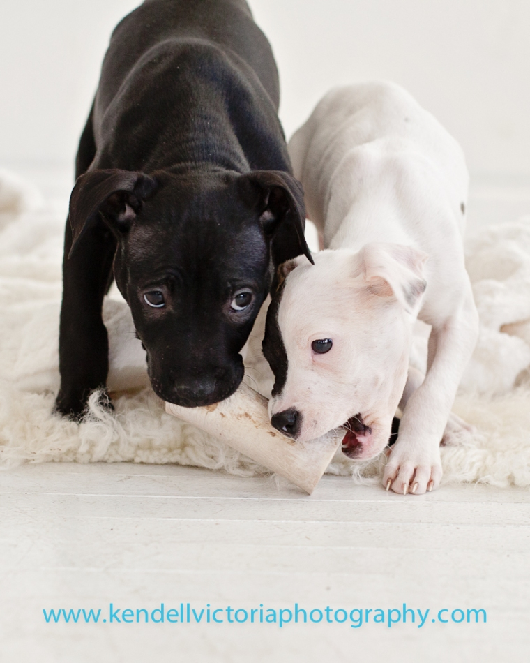 black and white pit bull puppies, saveabull rescue