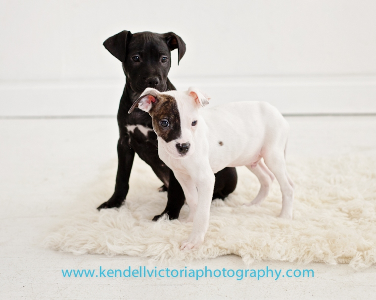 pit bull puppies MN