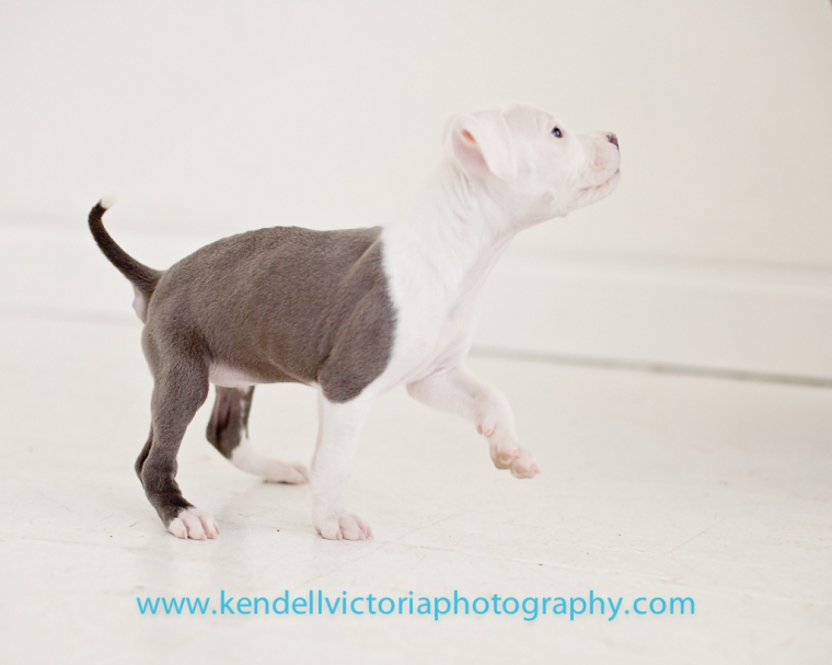 6 week old pit bull puppy