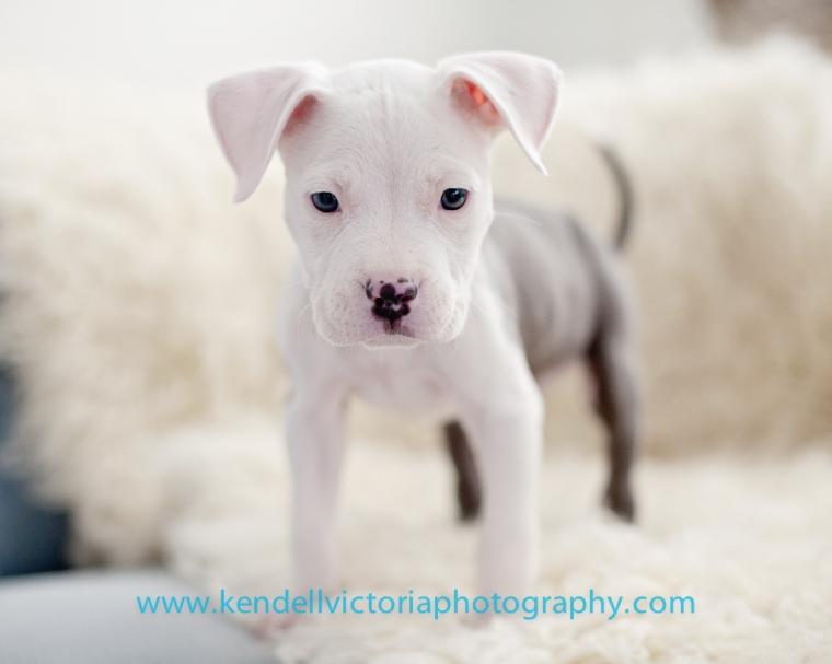 tiny pit bull puppy