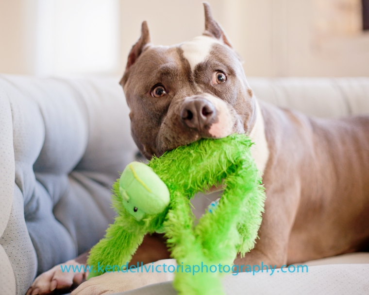pit bull attacks monkey!