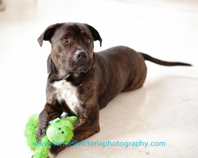 brindle pit bull, saveabull rescue MN