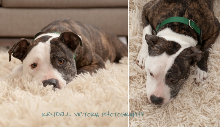 adoptable pit bull MN adorable friendly brindle