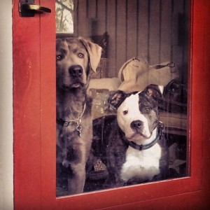 pit bull and lab wait at door
