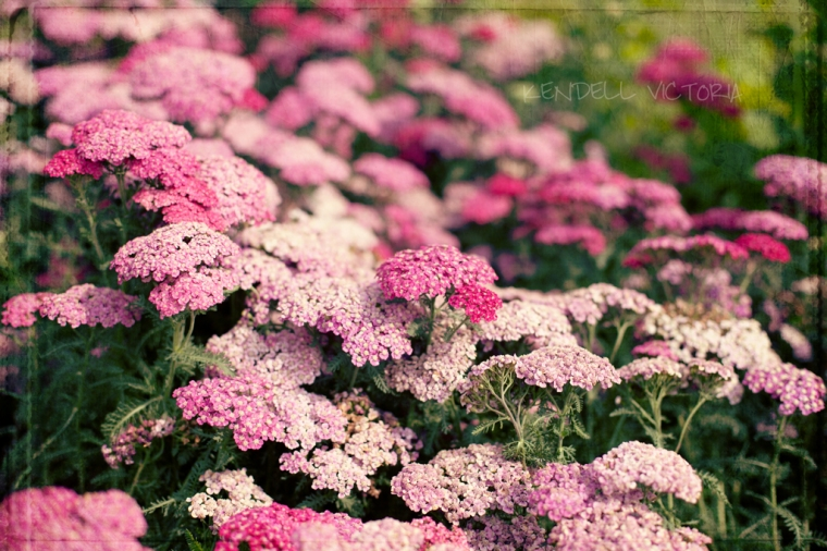 hot pink flower photo