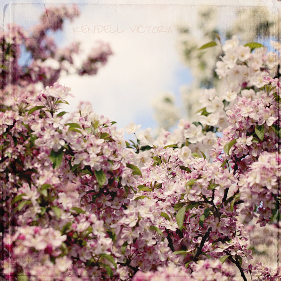fine art apple blossom on blue sky photograph