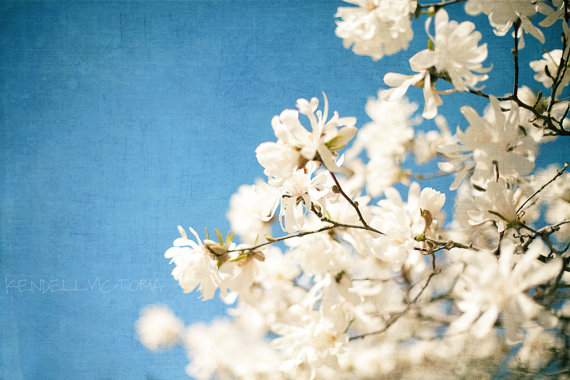magnolia blossoms on blue sky kendell victoria photography