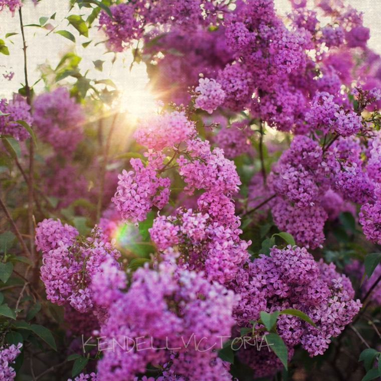backlit lilac flowers with sunburst fine art