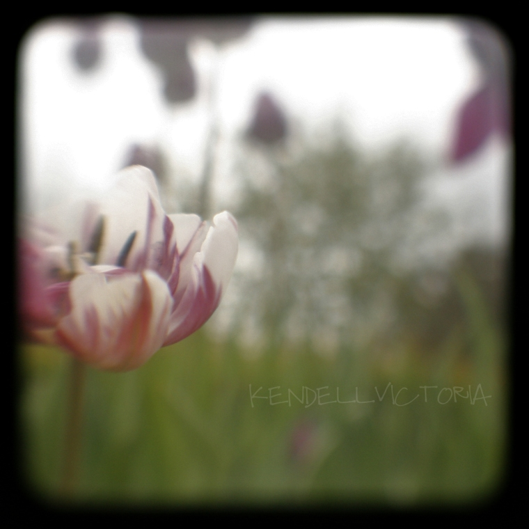 black frame hazy tulip photo fine art