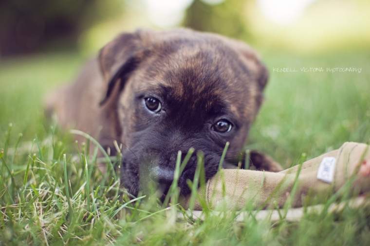 adopt, don't shop, pit bull puppy photo by Kendell Victoria
