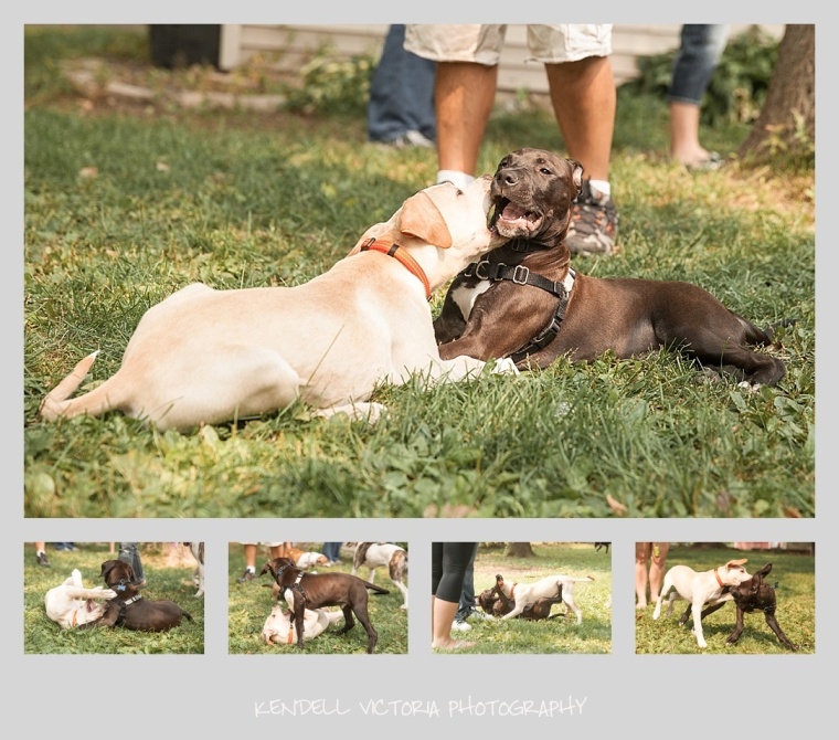 pit bull puppies playing, secondhand hounds, foster reunion