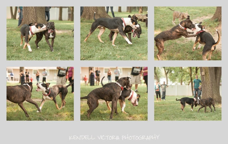pit bulls playing, foster reunion, adopt don't shop, don't bully my breed